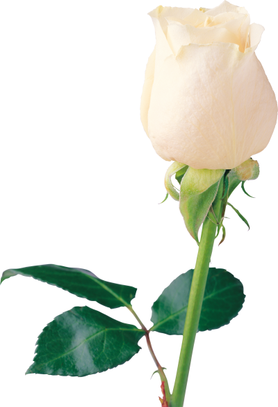 White Rose Clipart Photo PNG Images