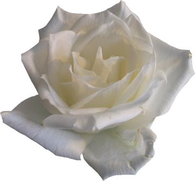 White Rose PNG Picture