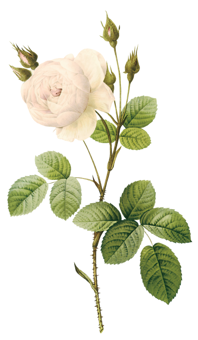 Nature, White Rose Png PNG Images