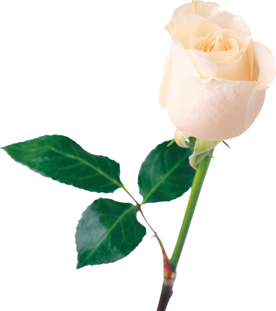 White Rose With Leaf Clipart PNG File PNG Images
