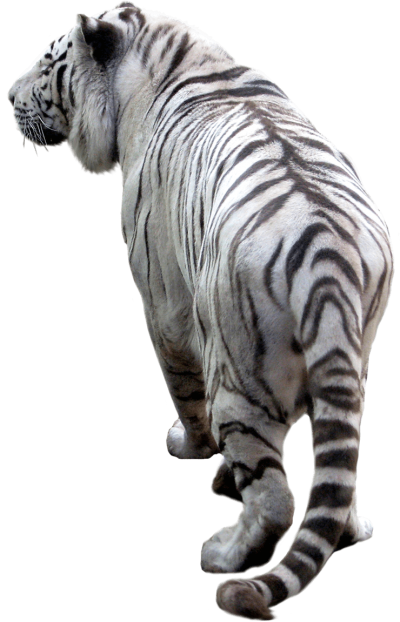 White Tiger Clipart Photo PNG Images