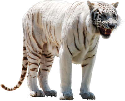 White Tiger Clipart PNG Photos