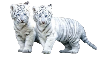 White Tiger Simple PNG Images