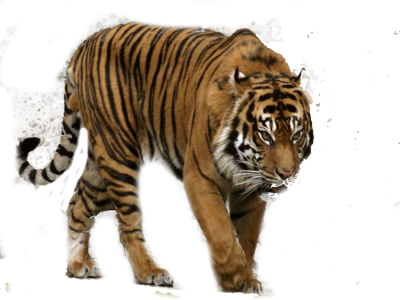 White Tiger Clipart HD PNG Images