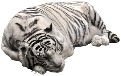 White Tiger Photos PNG Images