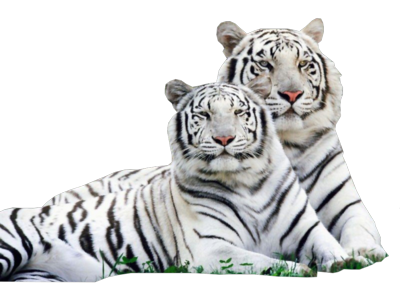 White Tiger Images PNG PNG Images