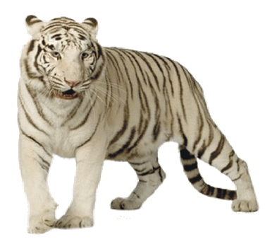 White Tiger Transparent