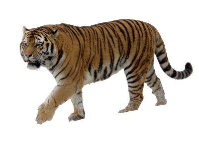 White Tiger Background PNG Images