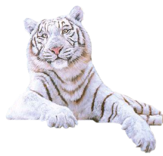 White Tiger Amazing Image Download PNG Images