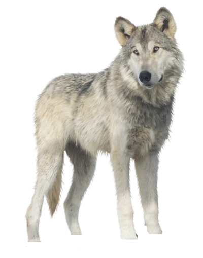Wolf Transparent Background PNG Images