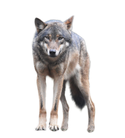 Wolf Transparent Picture PNG Images