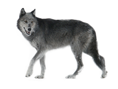 Wolf Simple PNG Images
