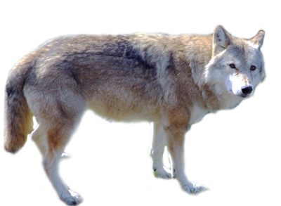 Wolf Best Png PNG Images
