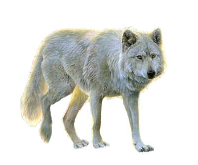 Wolf Wonderful Picture Images PNG Images