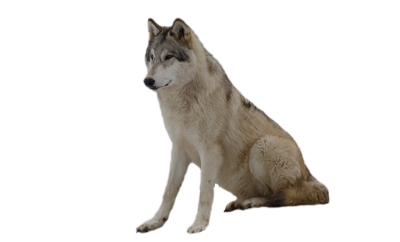 Wolf Cut Out PNG Images