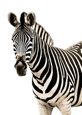 Zebra Amazing Image Download PNG Images