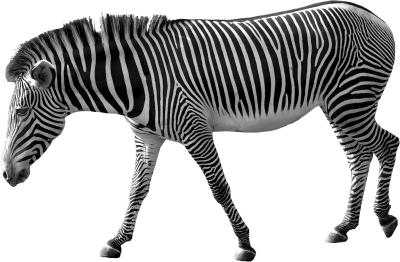 Zebra Photos PNG Images