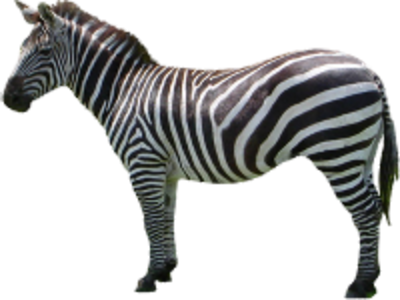 Zebra Clipart PNG File PNG Images