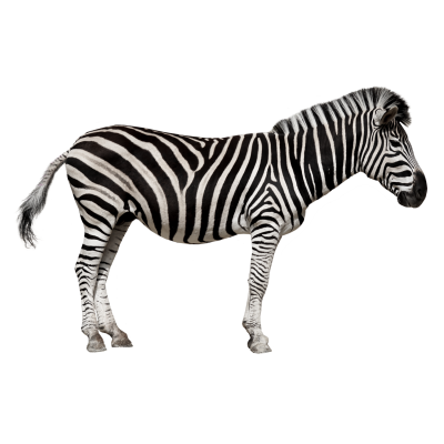 Zebra Cut Out PNG Images