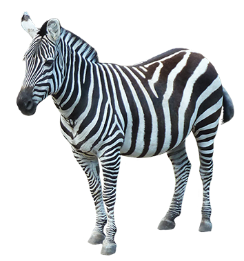 Zebra High Quality PNG PNG Images